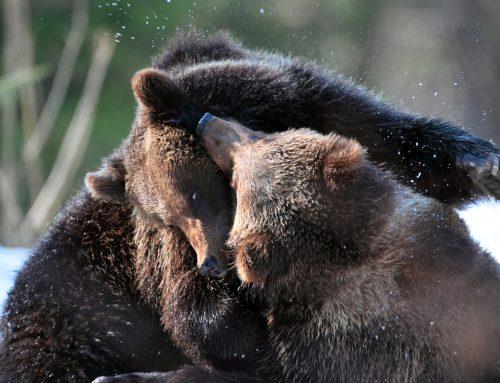Open Borders For Bears 1